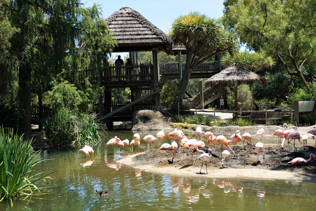 flamingos in safari park