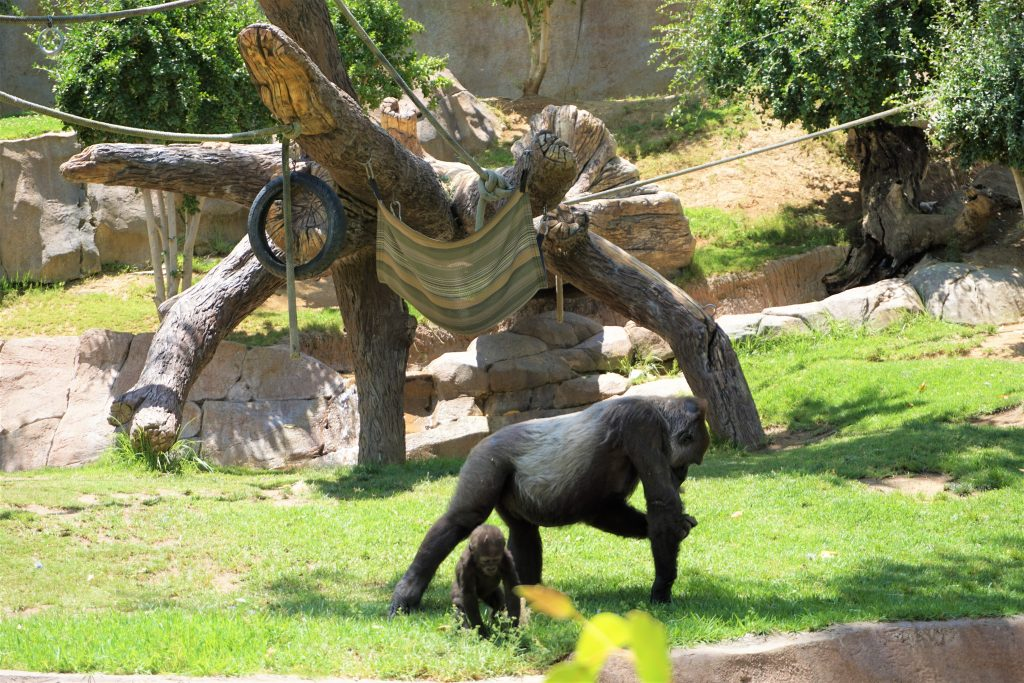gorillas in safari park